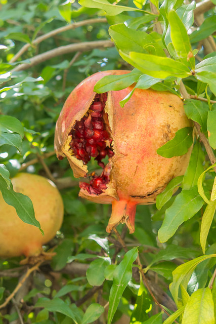 Pomegranate, Split Open