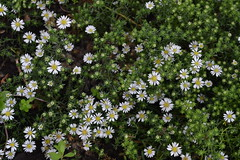 SYMPHYOTRICHUM ericoides f. prostratus 'Snow Flurry'