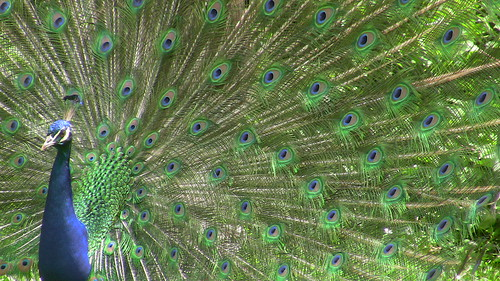 Peacock, Wilhelma Zoo, Germany
