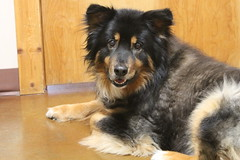 bohemian shepherd(0.0), rough collie(0.0), collie(0.0), dog breed(1.0), animal(1.0), dog(1.0), pet(1.0), english shepherd(1.0), carnivoran(1.0),