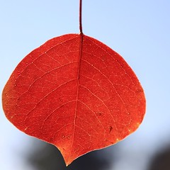 United Colours of Autumn | Red Leaves of Chinese Tallow Tree | Pop Corn Tree |  #Autumn 2013 | #F-7/4 Park | #Islamabad, Pakistan