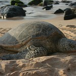 Sea turtle, Oahu