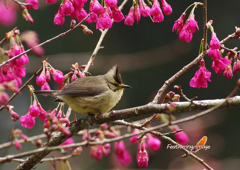 近日鳥拍 - 溪頭篇
