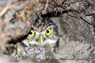 FL: Burrowing Owl and Plastic Bag