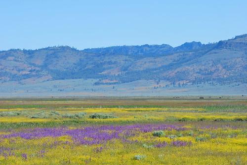 california flower sierravalley