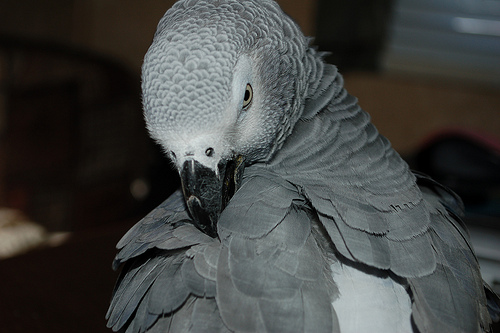 parrot training, african grey parrots, training african greys, african grey fears, african gray care, african grey taming, african grey training, african grey fear of hands,
