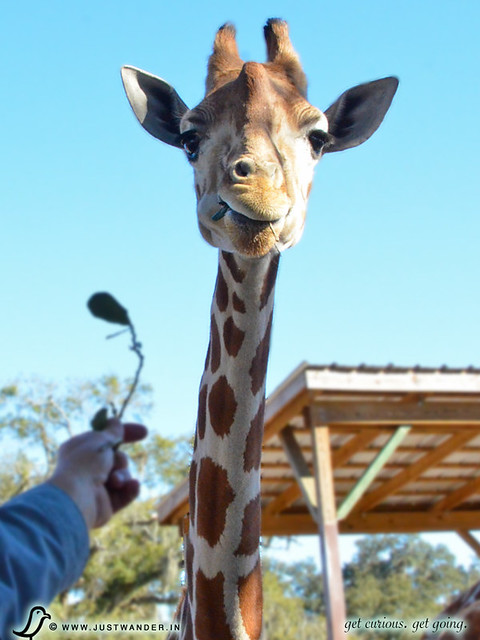 PIC: Giraffe nom-noms at Giraffe Ranch