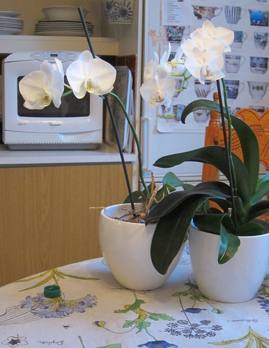 Orchids in the kitchen