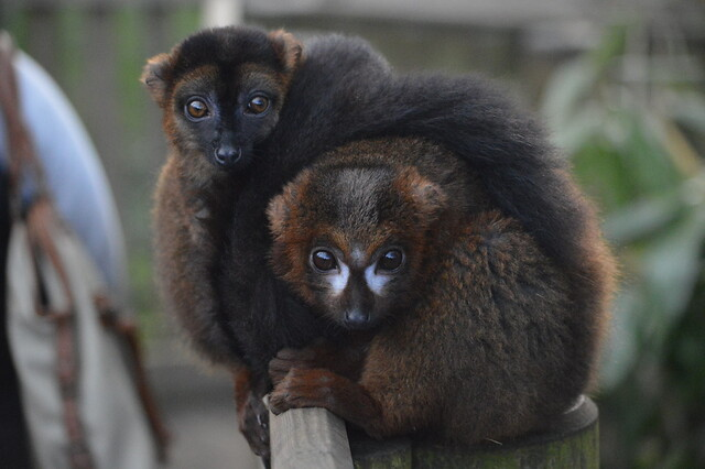 Red-Fronted & Red-Bellied Lemurs