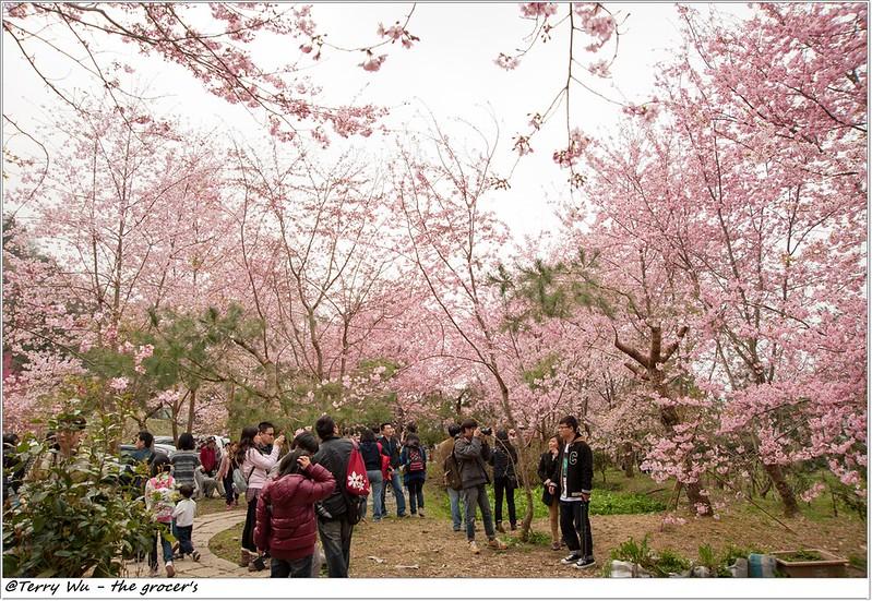 2014-3-01 拉拉山櫻花-24