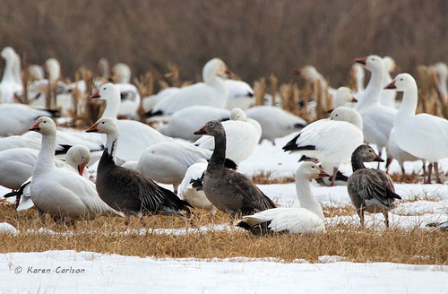 Not all snow geese are created equal