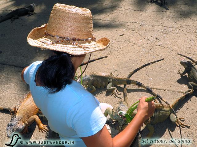 PIC: Arch's Iguana Park, Roatan, Honduras - Excursion from Caribbean Cruise - Maya feeding iguanas
