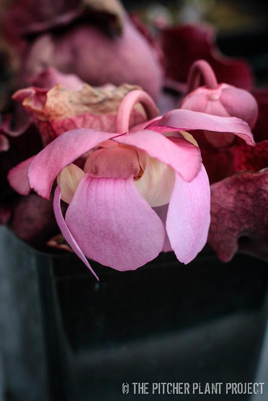 "Sarracenia rosea ""Big Mama"""