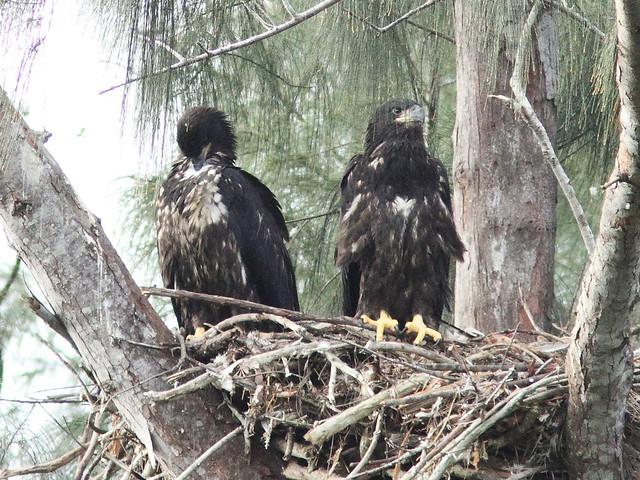 Bald Eaglets Honor and Glory 20140330