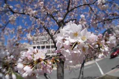 Fisheye Cherry Blossoms