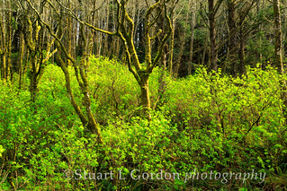 Alder Grove in Golden Light