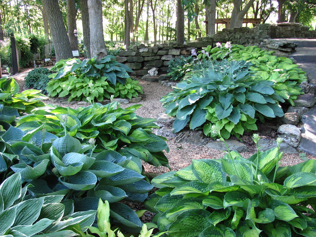 Superb Hosta Garden June, 2013 Looking At The Northwest Side Of The Waterfall Hosta  Garden June, 2013 Looking At The Northwest Side Of The Waterfall ...