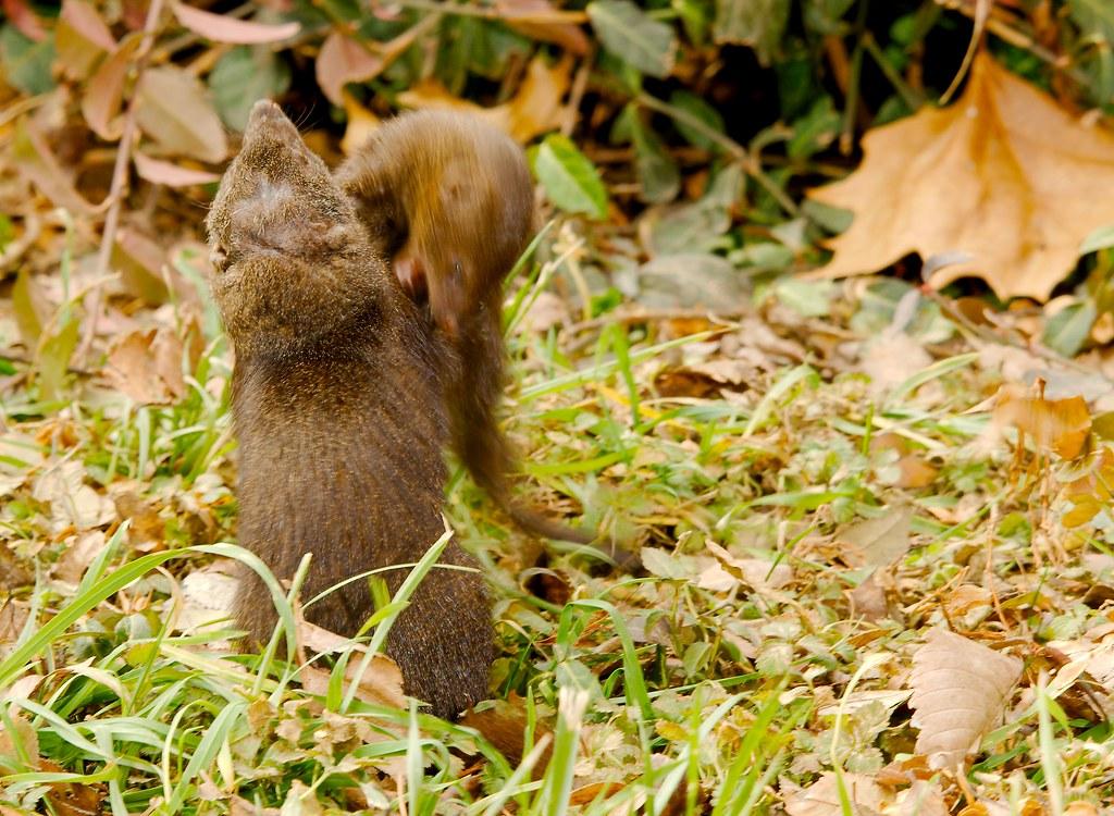 Common Dwarf Mongoose (Helogale parvula)_9