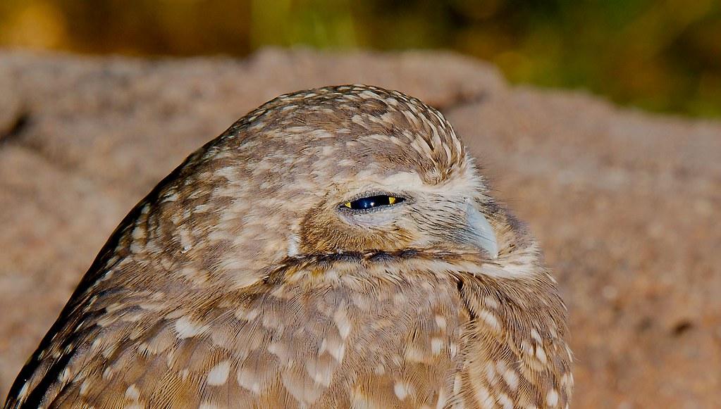 Burrowing Owl (Athene cunicularia)_7