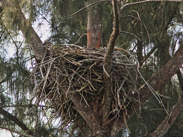 Bald Eagle empty nest 20150216