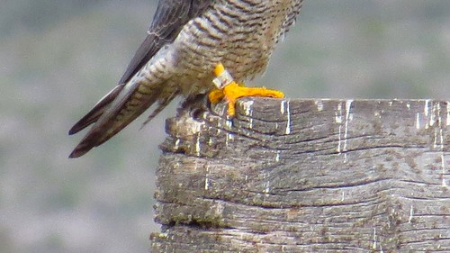Peregrine Falcon Talons Peregrine Falcon Talons And