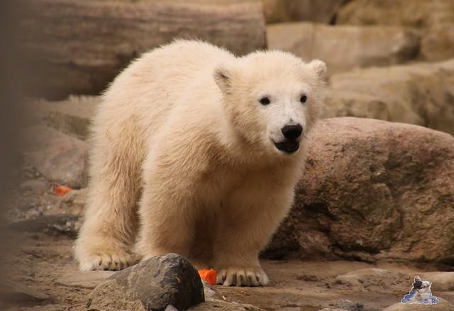 Eisbär Lilli im Zoo Bremerhaven 30.04.2016 Teil 2  36