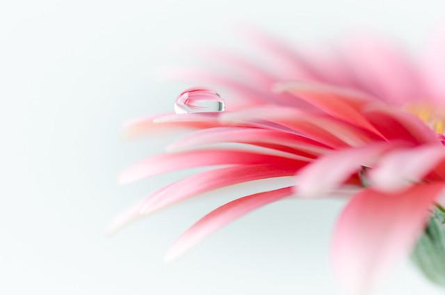 Soft Gerbera petals