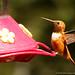 rufous hummingbird (male) by johncarney
