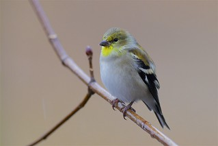 American Goldfinch (Spinus tristis), New Haven, Connecticut