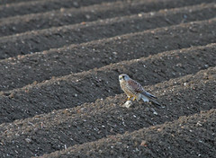 Kestrel female 290413 5890