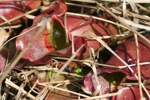 purple pitcher plant closeup