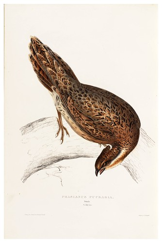 014-Phasianus Pucrasia-A Century of Birds from the Himalaya Mountains-John Gould y Wm. Hart-1875-1888-Science Naturalis
