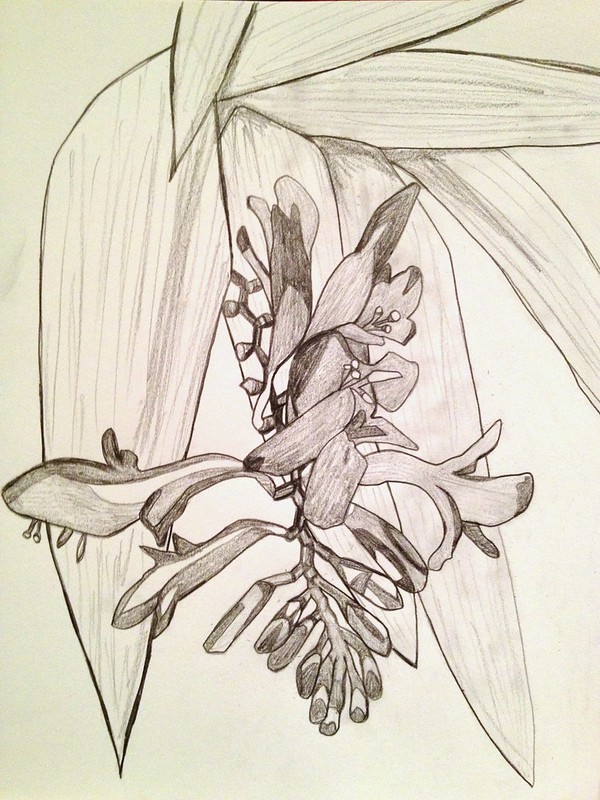 Drawing of unknown flower