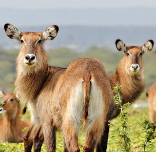 A Waterbuck with two heads