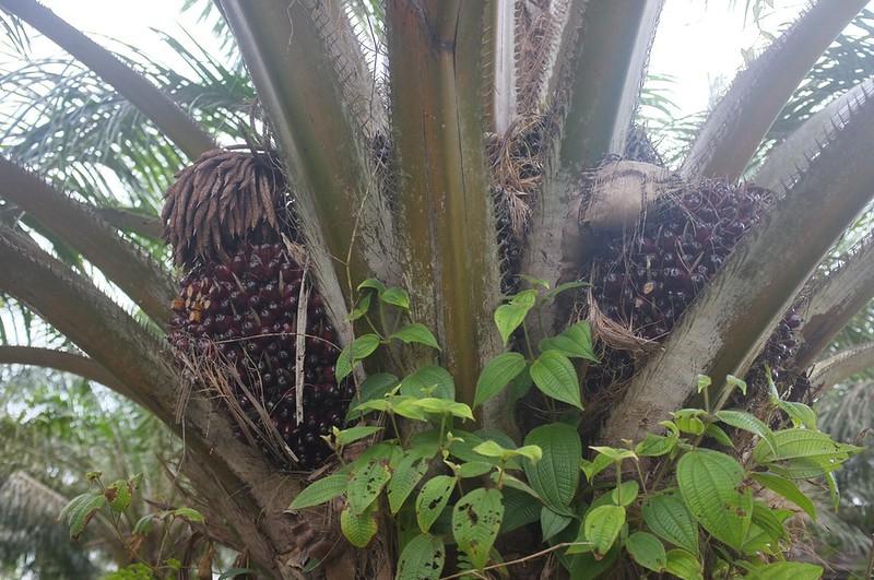 Pokok Kelapa Sawit.