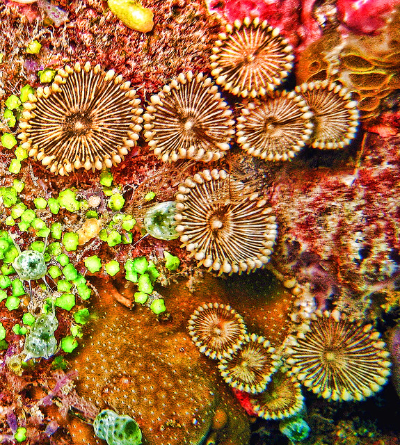 045 - Stripe Disc Zoanthid