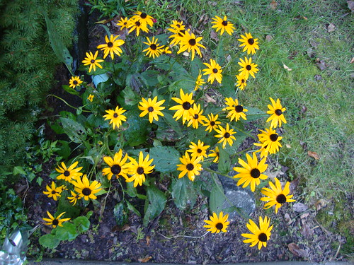 my black eyed susans 8/17/13
