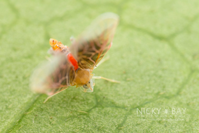 Derbid Planthopper (Derbidae) - DSC_3264