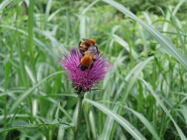 こちらはノアザミとトラマルハナバチ.このハチは後ろ足の太い毛に花粉をつけて運ぶ.