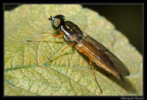 Sargus bipunctatus femelle