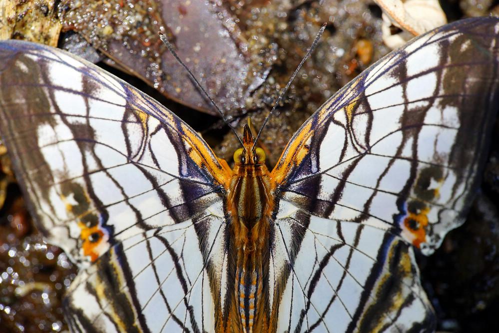 絲蛺蝶屬網絲蛺蝶-4