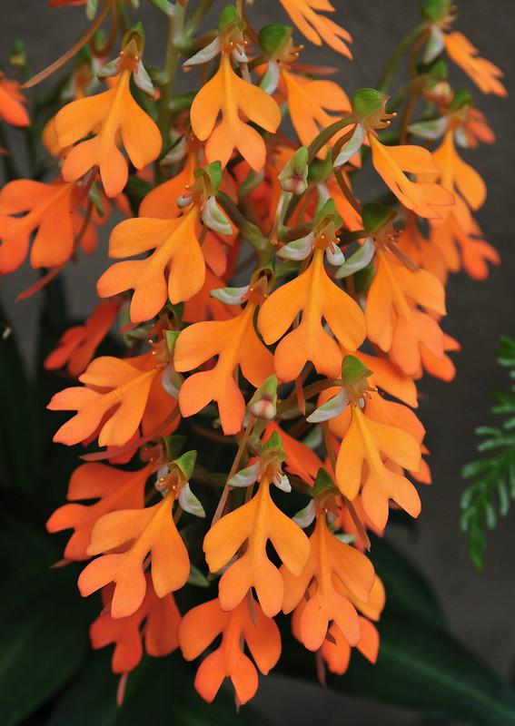 Conservatory - Habenaria rhodocheila