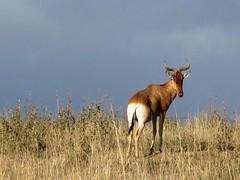 animal, prairie, antelope, springbok, mammal, hartebeest, fauna, pasture, savanna, grassland, wildlife,