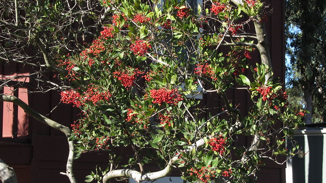 IMG_5556 Toyon Christmas red berries