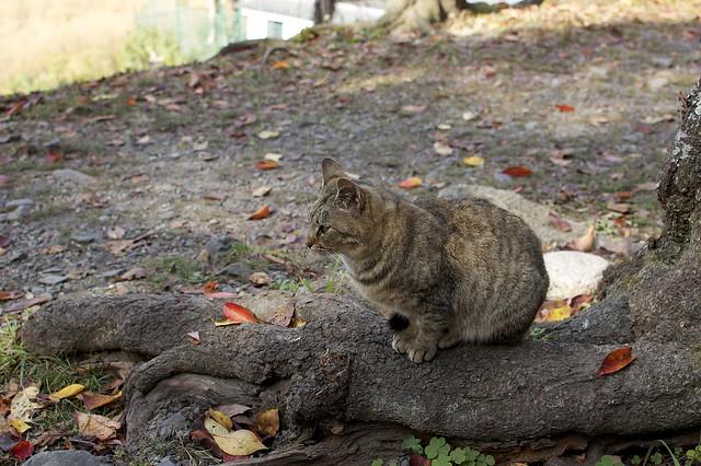 哲学の道で哲学する猫 その2