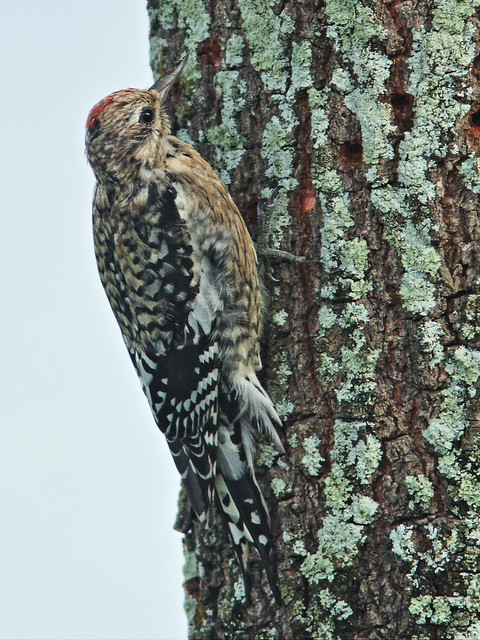 Yellow-bellied Sapsucker 3-20131225