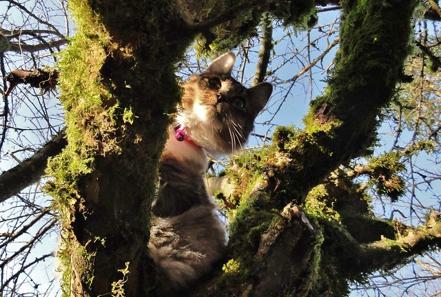 Luna perched in a fork on a mossy branch, avidly watching the goings-on below.