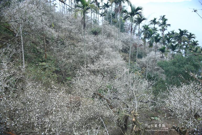 台南私藏景點--梅嶺梅花季  2013 (13)