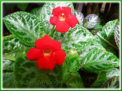 Episcia cupreata 'Frosty' (Flame Violet, Carpet Plant), 30 Nov 2013
