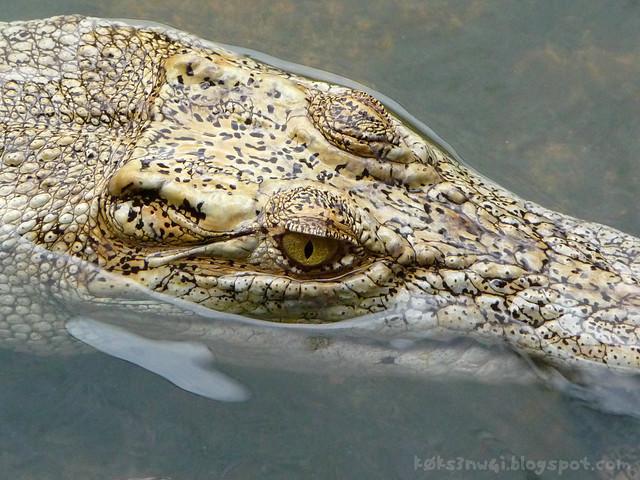 Croc Death Stare